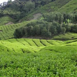 20130709_10_Malaysia_Cameron_Highlands_039
