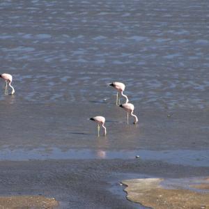 20140119_Parque_Eduardo_Laguna_Colorada_Avaroa_Flamingos_034