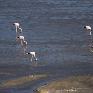 20140119_Parque_Eduardo_Laguna_Colorada_Avaroa_Flamingos_040