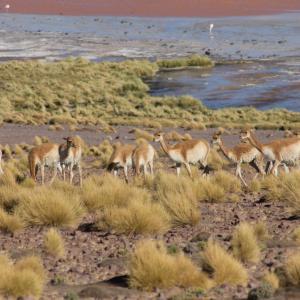20140119_Parque_Eduardo_Laguna_Colorada_Avaroa_Flamingos_051